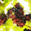 Bunch of grapes on grapevine in vineyard — Stock Photo