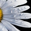 daisy flower&quot — Stock Photo