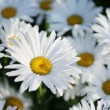 Flower bed of daisies — Stock Photo #32909495