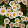 Flower bed of daisies — Stock Photo #32909505