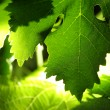 Backlit grape leaves background — Stock Photo