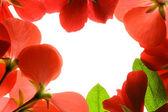 Red flower frame over white backgroun — Stock Photo