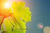 Solen skiner genom grapevine lämnar — Stockfoto