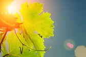 Sun shining through grapevine leaves — Stok fotoğraf