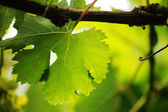 Grape leaf close-up. Shallow DOF. — Stock Photo