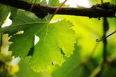 Grape leaf close-up. Shallow DOF. — Stock Photo