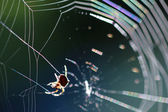Spider on spiderweb — Stock Photo