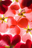 Backlit Red Flower Petals — Stock Photo