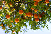 Ripe Oranges On A Tree — Foto de Stock