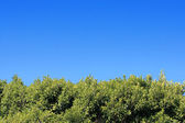 Green foliage under the clear blue sky — ストック写真