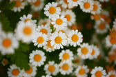Flower bed of daisies — Stock Photo
