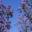 Blossoming Jacaranda Trees — Stock Photo