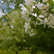 Blooming Apple Trees — Stock Photo