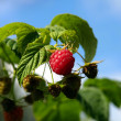 Red raspberry — Stock Photo