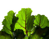 Beet Leaves Backlit Green — Stock Photo