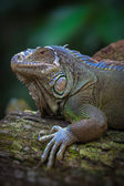 The green iguana — Stock Photo