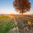 Large tree in the field — Stock Photo #32335409
