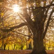 Autumn tree with sunbeams — Stock Photo