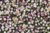 Background: sleeping closed daisies - Leucanthemum Vulgare — Stock Photo
