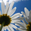 Daisies and blue sky — Stock Photo