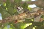 Squirrel monkey — Foto Stock