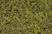 Cypress leaves — Stockfoto