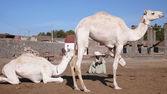 Vendedor de camellos. egipto — Foto de Stock