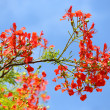 Flame Tree or Royal Poinciana Tree — Stock Photo