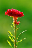 Cockscomb flower - wool flowers - brain celosia — Stock Photo