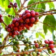 Red and green coffee beans ripe on the branch of coffee plant — Стоковое фото