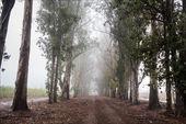Polną drogą wśród drzew z mgły — Zdjęcie stockowe