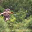 Brazilian Sparrow-hawk flying - Parque Nacional da Serra da Cana — Stock Photo