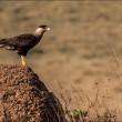 Brazilian sparrow-hawk resting on termite mound - Serra da Cana — Stock Photo