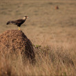 Brazilian sparrow-hawk resting on termite mound - Serra da Cana — Stock Photo