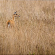 Постер, плакат: Deer walking across the dry foliage at Serra da Canastra Nationa