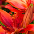 Red lily flower — Stock Photo