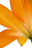 Orange lily flower isolated — Foto Stock