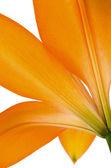 Orange lily flower isolated — Stock Photo