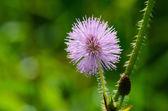 Wild flower pudica mimosa — ストック写真