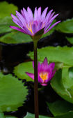 Purple lotus flower — Stok fotoğraf