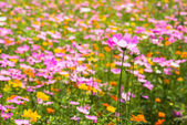 Cosmos flower in the garden — Stock Photo