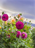 Pink Dahlia Flowers in the Garden — 图库照片