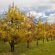 Orchard of fruit trees — Stock Photo