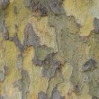 Plane tree bark — Stock Photo