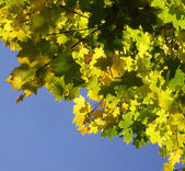 Yellow and green leaves of a maple — Stock Photo