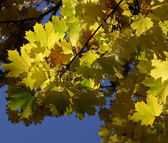 Branch of maple leaves in the autumn — Stock Photo