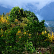 Sichuan Province, China:  Yellow Gingko Trees on a Mountainside in Autumn — Stock Photo