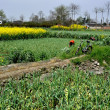 China: Farmlands with Green Garlic and Yellow Rapeseed Flowers — Stockfoto