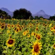 Lop Buri, Thailand: Vast Fields of Sunflowers — Stock Photo