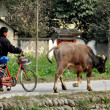 Stock Photo: China: Farmer Walking a Bicycle and his Water Buffalo in Pengzhou